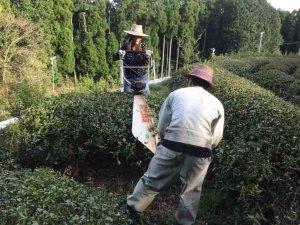 Theeplanten snoeien in japan