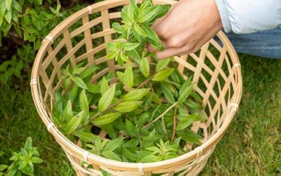 Van plant naar verveine kruidenthee